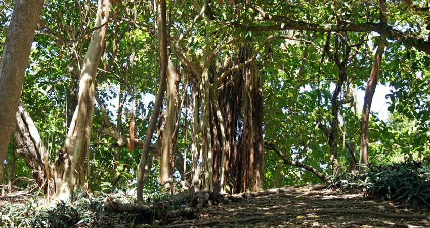 Die Bacardi-Insel ist dicht bewachsen.