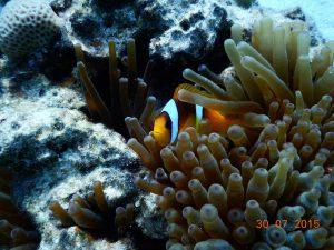 Anemonenfisch - Tauchen in Ägypten