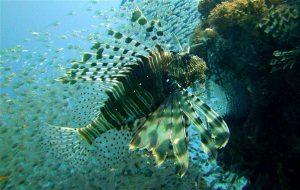 Feuerfisch - Tauchen in Ägypten