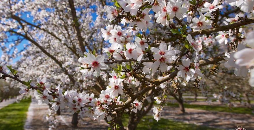 weiße Mandelblüte auf Mallorca