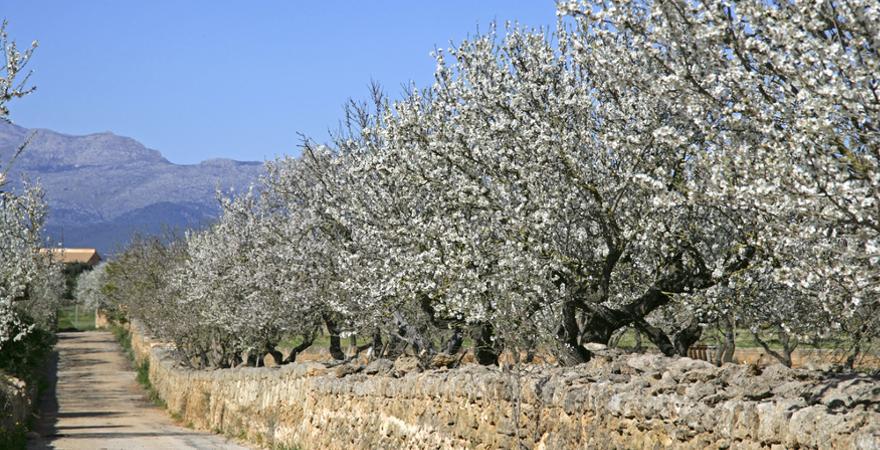 Mandelblüte auf Mallorca: Romantische Wege führen durch blütenreiche Plantagen