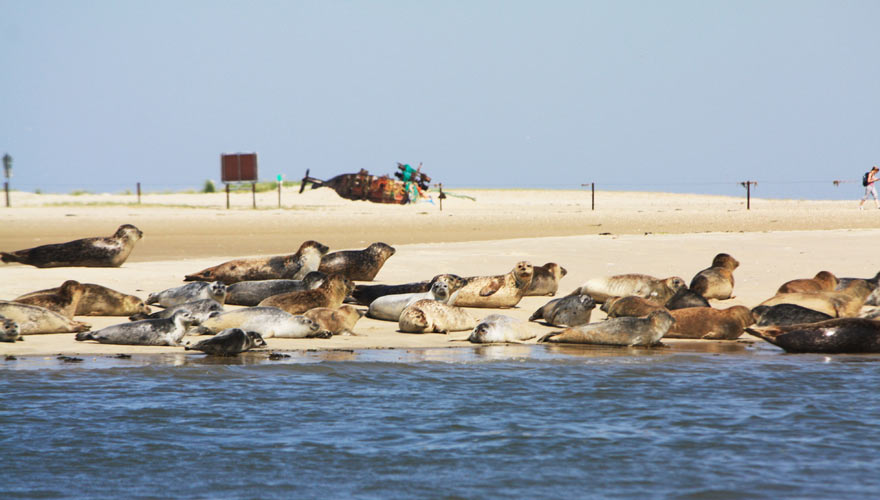 Seehunde entspannen im Wattenmeer an der Nordsee