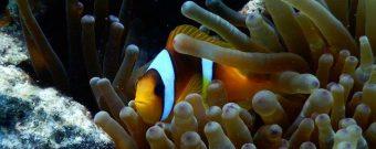 Nahaufnahme eines Anemonenfisches