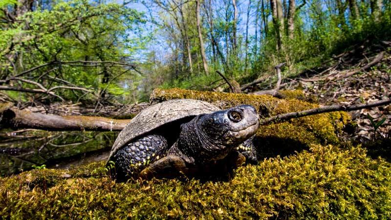 Europäische Sumpfschildkröte im Nationalpark Donau-Auen