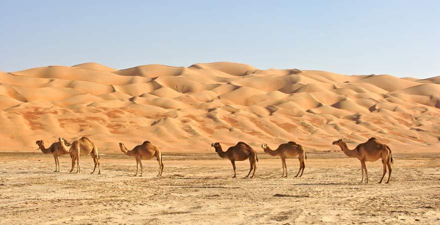 Kamele in der Wüste der Vereinigten Arabischen Emirate