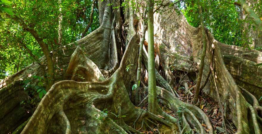Baum im Khao Sok Nationalpark