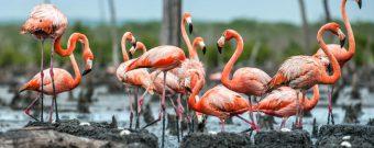 Flamingos am Rio Maximo auf Kuba