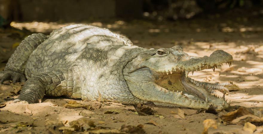 Urlaubstipp für Gambia: Besucht doch die heiligen Krokodile von Kachikally