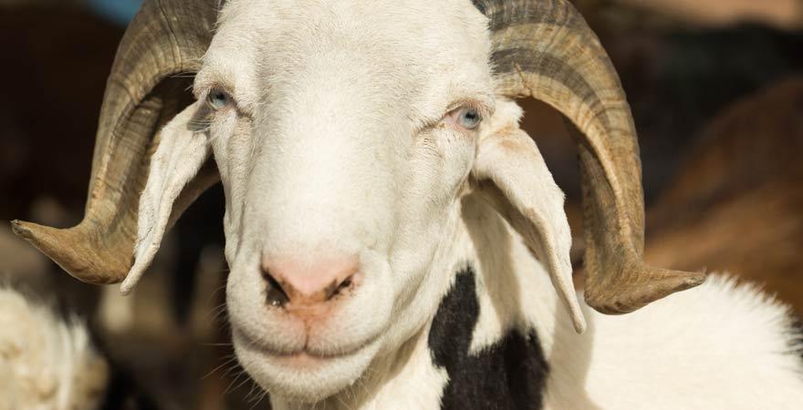 Eine Ziege auf dem Abuko-Viehmarkt. Ein Besuch dort zählt zu unseren Tipps für euren Gambia-Urlaub