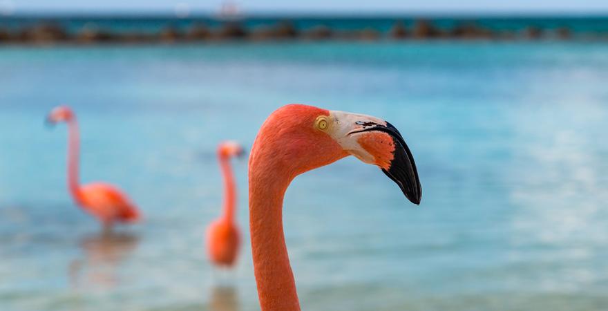 Die Flamingos auf Aruba sind ein Highlights unter allen Karibik-Reisetipps