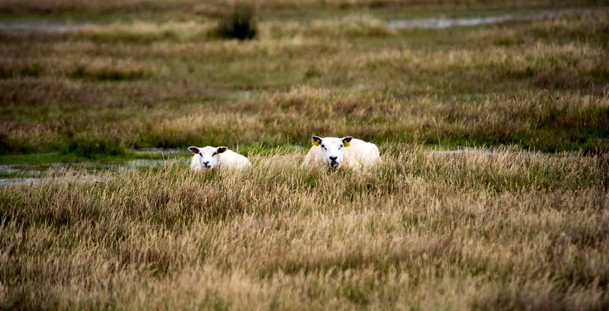 Schafe auf Rømø in Dänemark