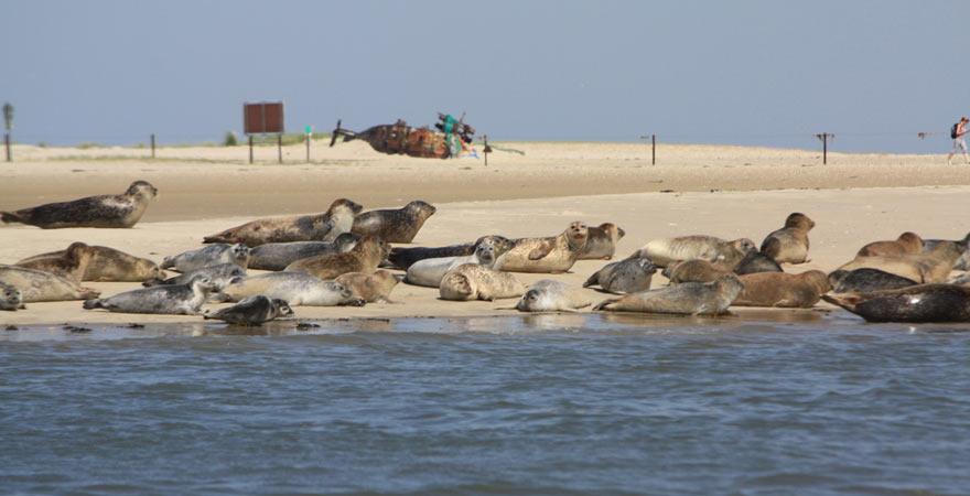 Unser Reisetipp für die Nordsee: unbedingt Seehunde auf Langeoog beobachten!