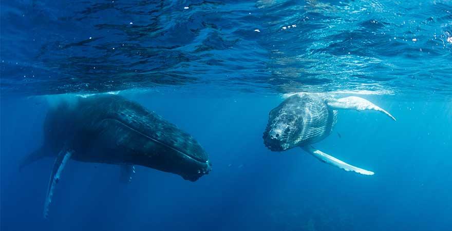Buckelwale in der Dominikanischen Republik
