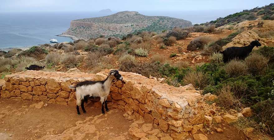 Ziegen auf Kreta