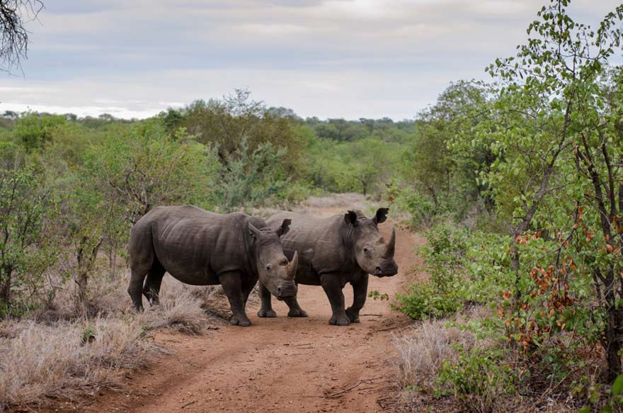 Nashörner im Krüger Nationalpark, Südafrika