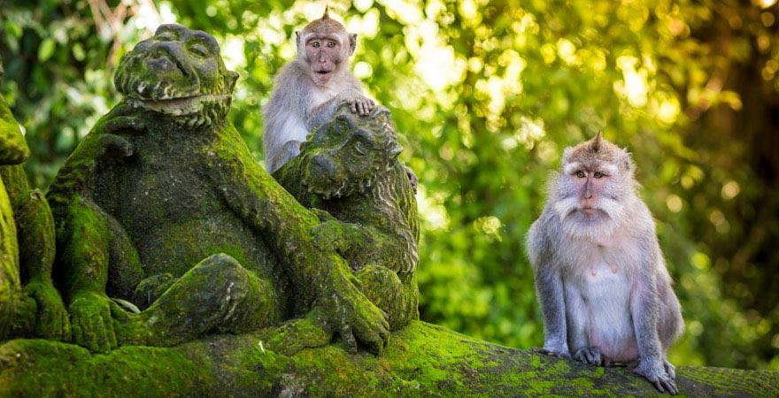 Affen im Affenheiligtum von Ubud auf Bali