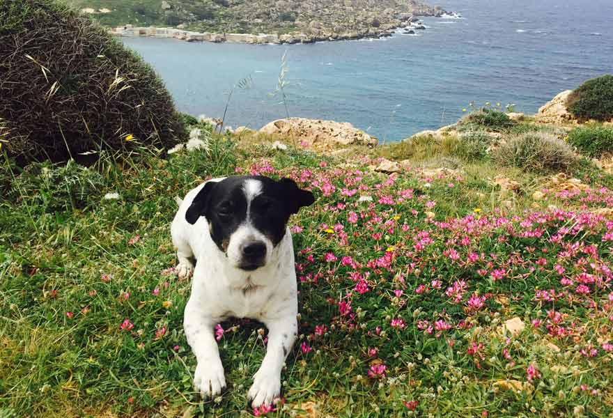 Antonijas Hund Jack beim Wandern auf Malta