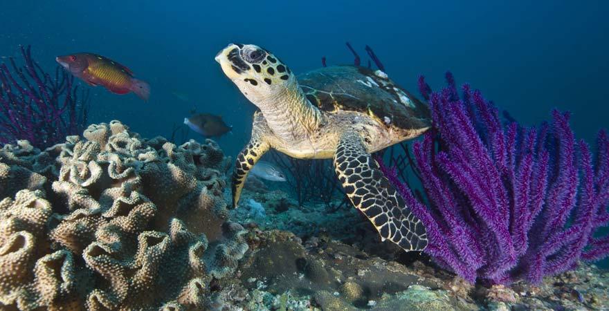 Meeresschildkröte beim Tauchen im Oman