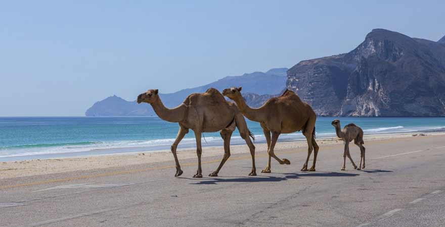 Kamele in Salalah im Oman