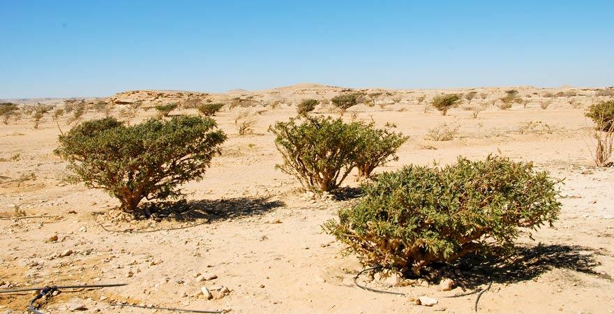Weihrauchbäume in der Wadi Dawkah, Oman