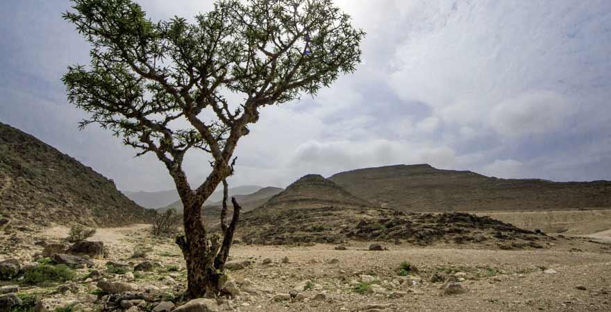 Weihrauchbaum im Oman