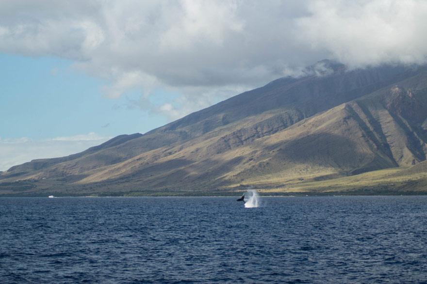 Whale Watching auf Maui