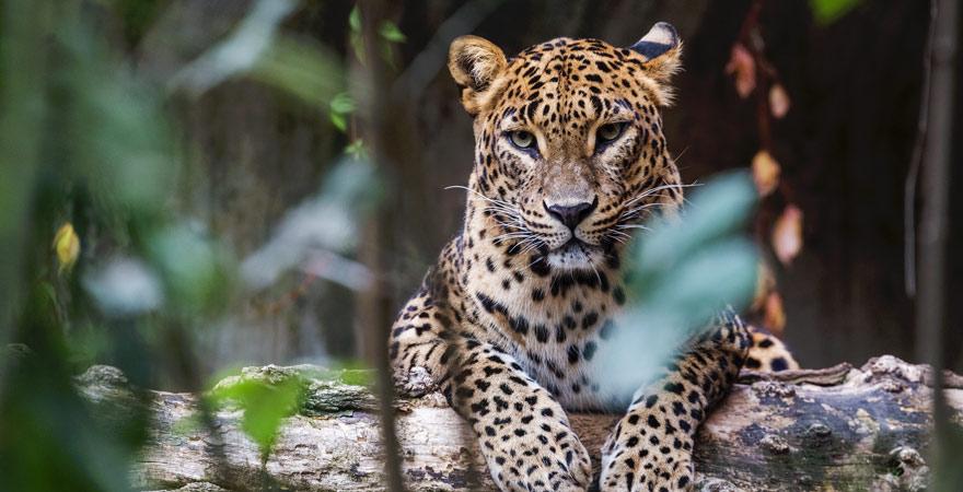 Ceylon Leopard in Sri Lanka