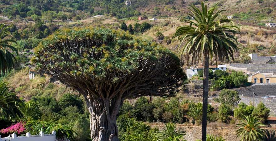 Drachenbaum in Icod de los Vinos auf Teneriffa