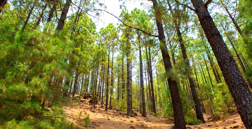 Im Naturpark Corona Forestal auf Teneriffa kann man herrlich wandern