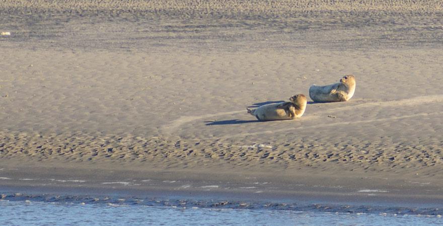 Robben sonnen sich auf einer Sandbank im Nationalpark Schleswig-Holsteinisches Wattenmeer