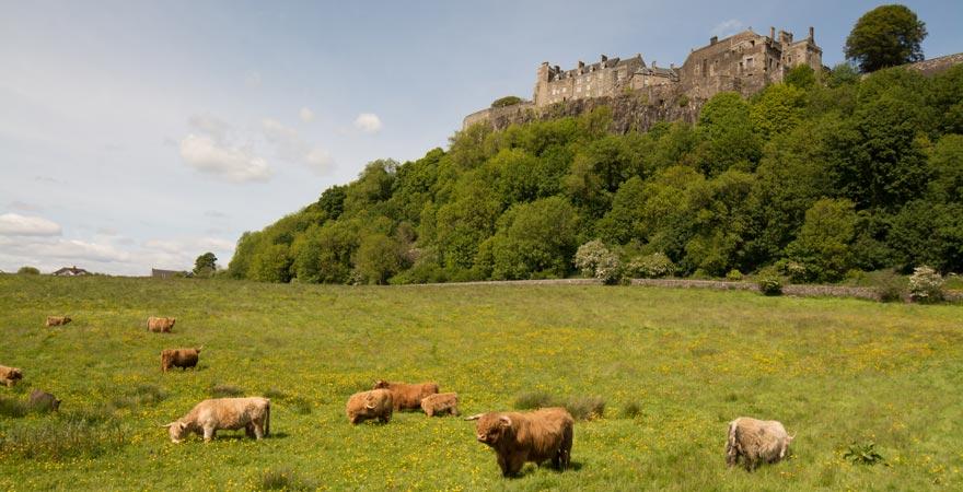 Stirling Castle mit einer Kuhherde im Vordergrund