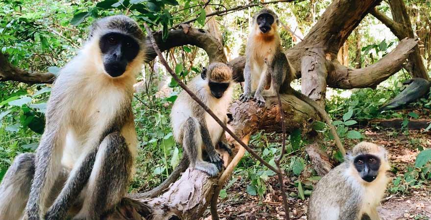 Im Bijilo Forest park tummeln sich viele hungrige Affen