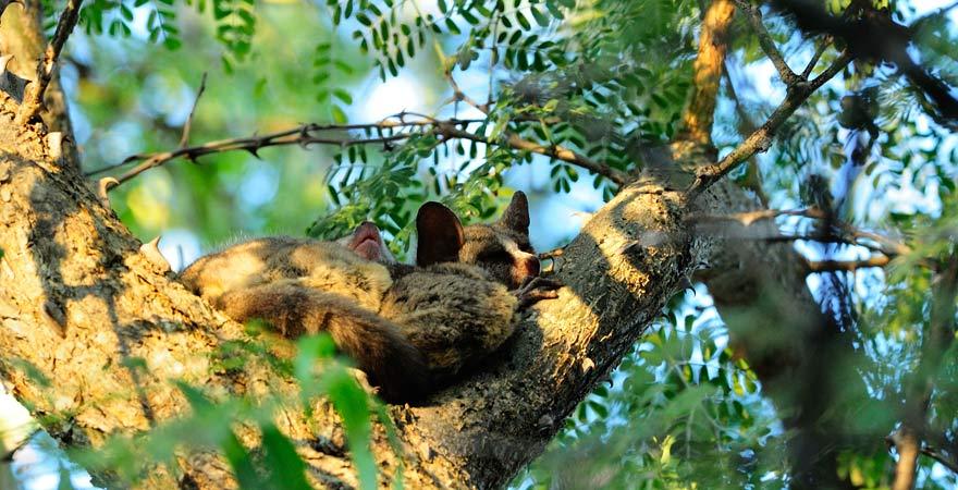 Galago bzw. Buschbaby schläft in einem Baum im Abuko Nature Reserve in Gambia