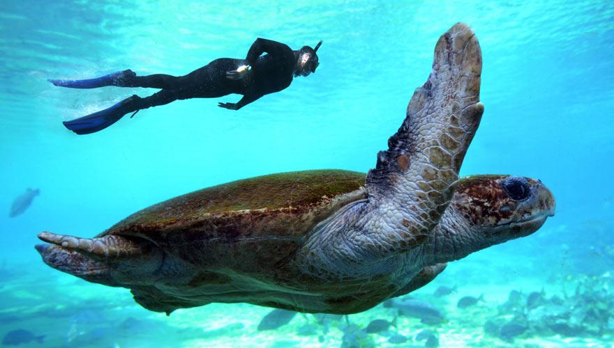 Meeresschildkröte beim Tauchen vor Amed auf Bali