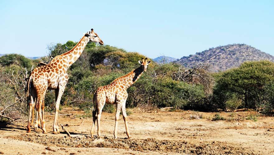 Eine Safari könnt ihr euch leisten, wenn ihr einen Urlaub im günstigen Reiseziel Südafrika macht