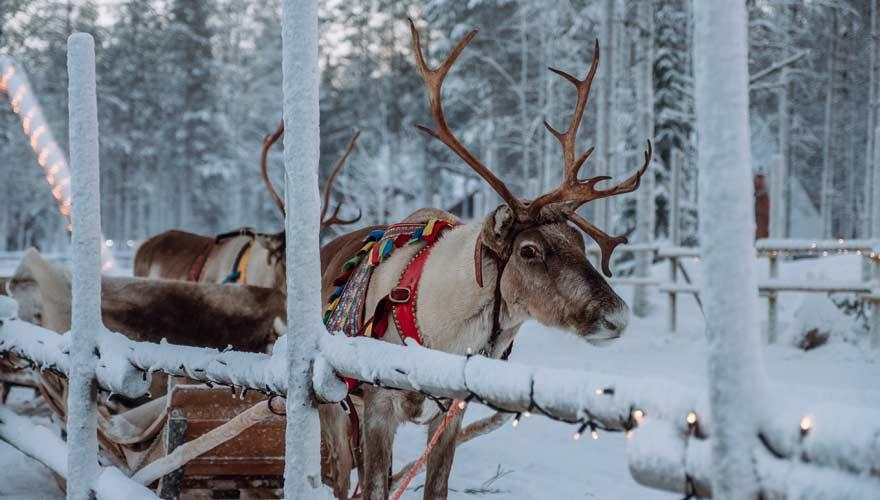 Rentier im Weihnachtsdorf in Lappland / Finnland
