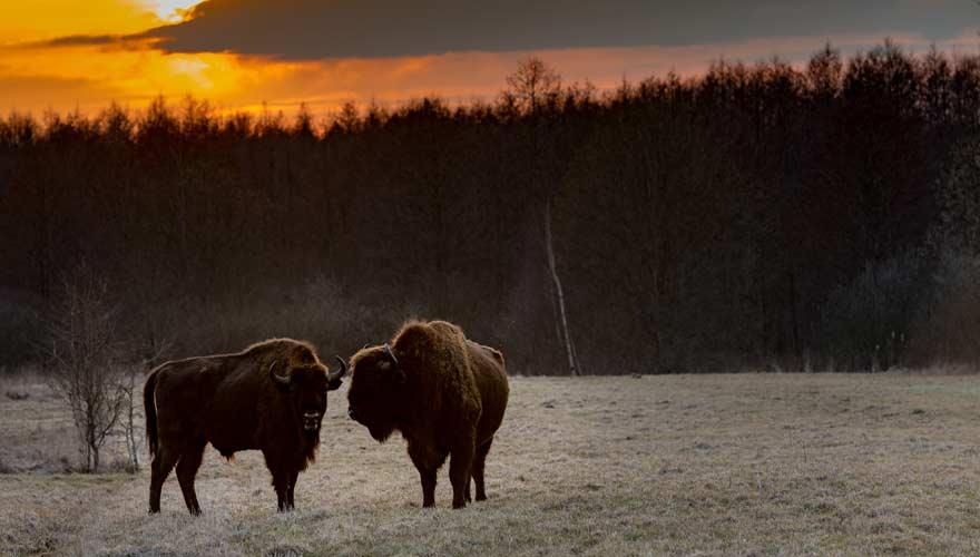 Wisente in Bialowieza - der polnische Nationalpark ist ein echter Reisetipp
