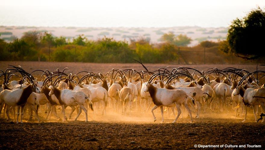 Oryx-Antilopen auf Sir Bani Yas Island in Abu Dhabi