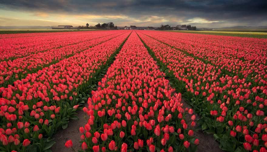 Tulpenfeld in Bollenstreek in den Niederlanden