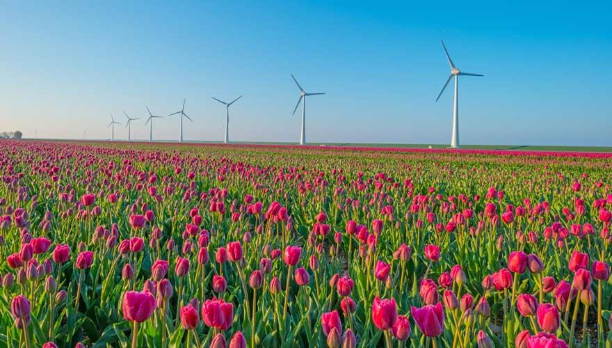 Tulpenblüte in Noordoostpolder in den Niederlanden