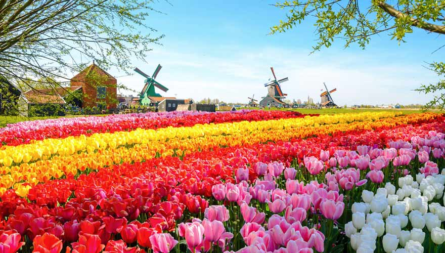 Tulpenfeld in Holland mit Mühle