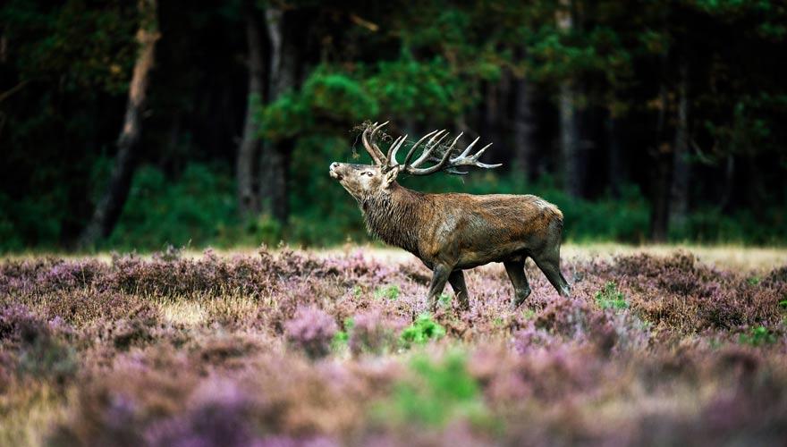 Ein sehenswertes Reiseziel ist der Hoge Veluwe Nationalpark mit seinen Hirschen, Mufflons und Co.
