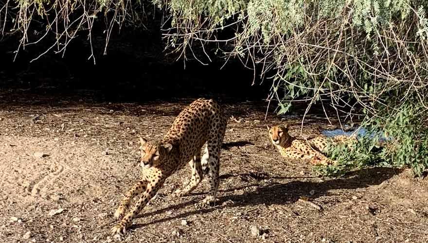 Schlafende Geparden auf Sir Bani Yas Island