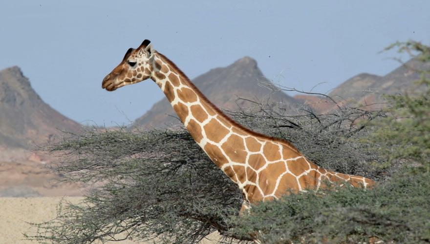 Giraffe auf Sir Bani Yas Island