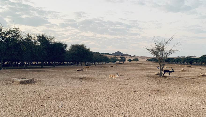 Gazellen und Antilopen bei einer Jeep-Safari auf Sir Bani Yas Island