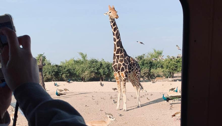 Giraffe bei Jeep-Safari auf Sir Bani Yas Island