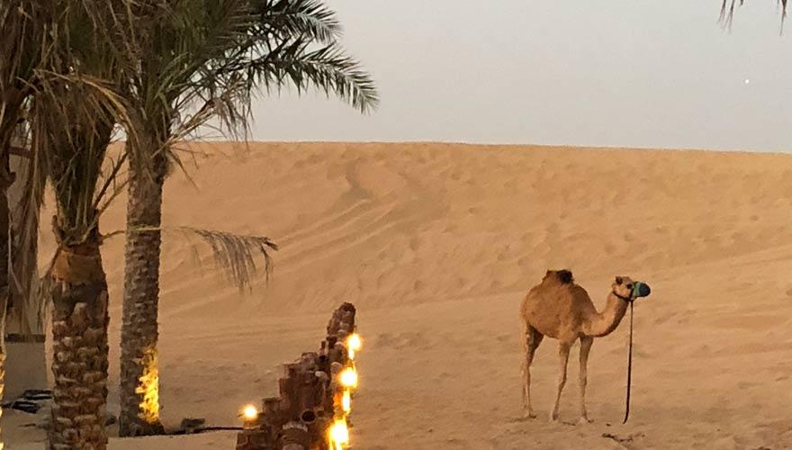Dromedar bei Wüstensafari in Dubai