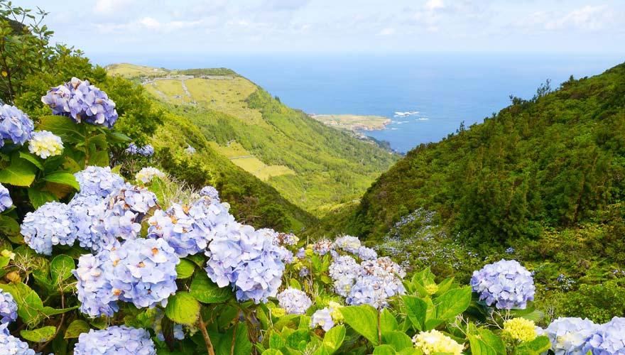 Hortensien auf Flores, Azoren
