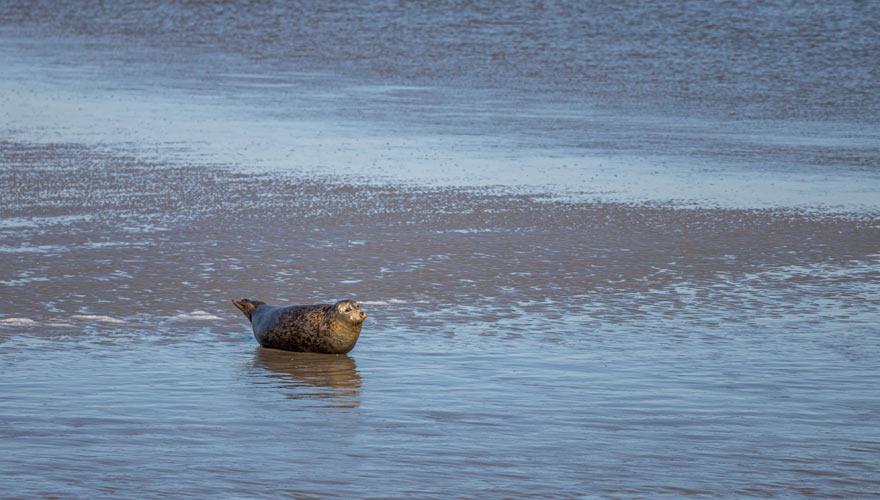 Seehund auf Norderney beim Sonnenbad