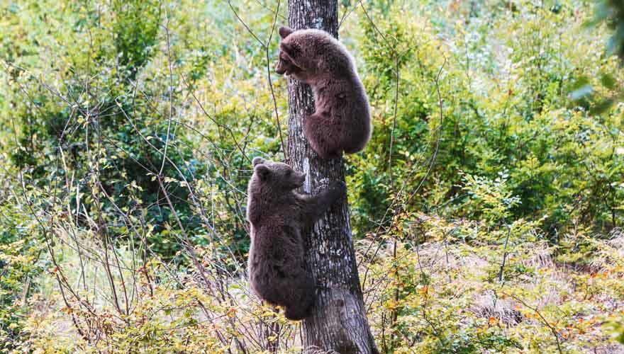 In Rumänien gibt es Bären